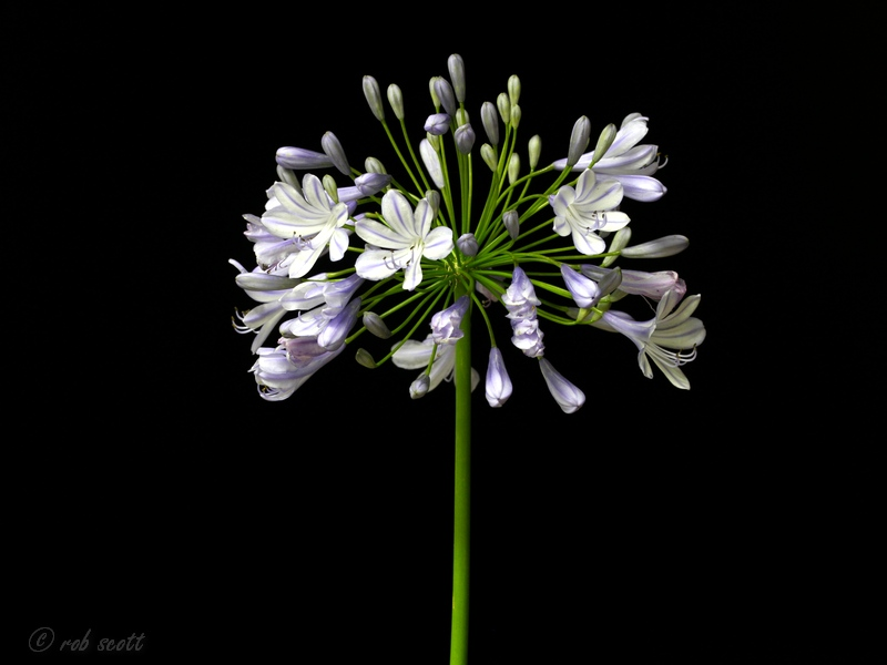 Agapanthus praecox shire bulbs