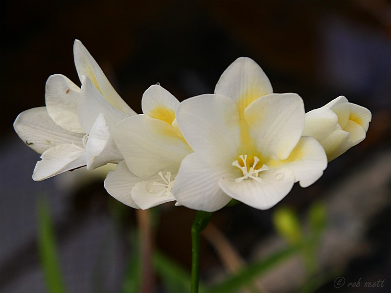 Freesia alba african bulbs